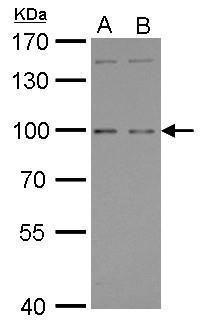 GPRC6A Antibody (PA5-21914)