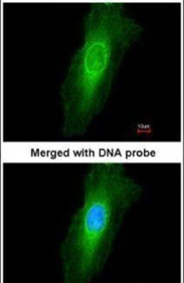 NEK7 Antibody (PA5-21915)