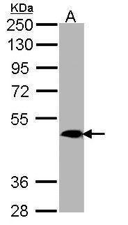 MRGPRX4 Antibody (PA5-21918) in Western Blot
