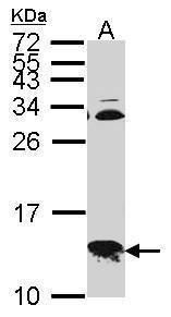 COX6B1 Antibody (PA5-21920) in Western Blot