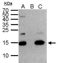 Histone H2A.Z Antibody (PA5-21923) in Immunoprecipitation