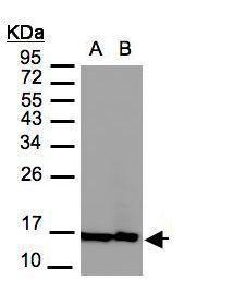 Histone H2A.Z Antibody (PA5-21923) in Western Blot