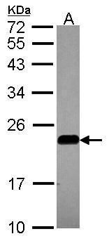 Caveolin 2 Antibody (PA5-21927) in Western Blot