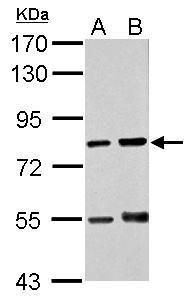 RED Antibody (PA5-21938) in Western Blot