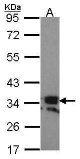 RANKL Antibody (PA5-21951) in Western Blot