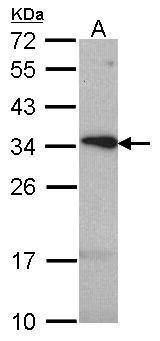 TSPAN1 Antibody (PA5-21972)