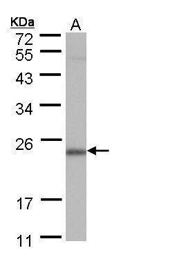 POLR2G Antibody (PA5-21984) in Western Blot