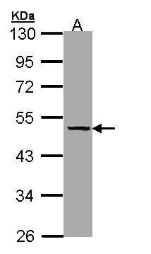 SERPINA7 Antibody (PA5-21992) in Western Blot