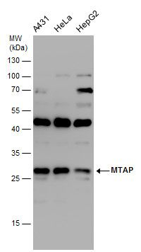 MTAP Antibody (PA5-22000) in Western Blot