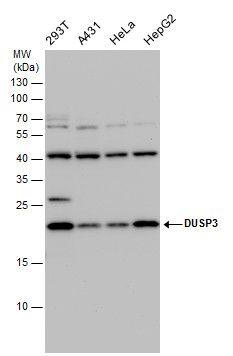 DUSP3 Antibody (PA5-22001) in Western Blot