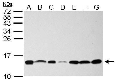 NHP2L1 Antibody (PA5-22010) in Western Blot
