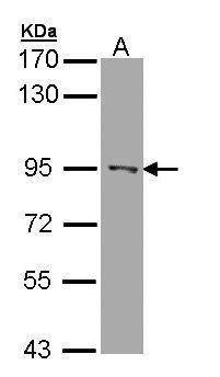RASAL1 Antibody (PA5-22031) in Western Blot