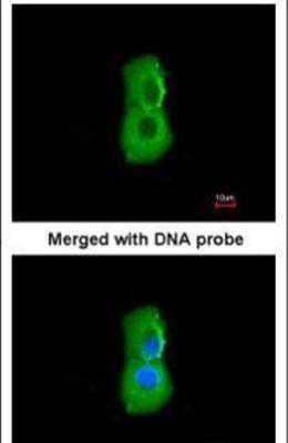PSMC3 Antibody (PA5-22041) in Immunofluorescence