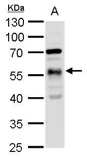 alpha Tubulin Antibody (PA5-22060) in Western Blot