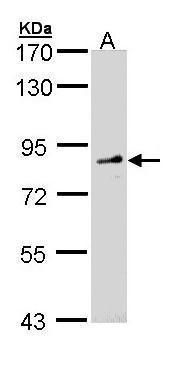 FGD4 Antibody (PA5-22062) in Western Blot
