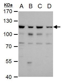 OGT Antibody (PA5-22071) in Western Blot