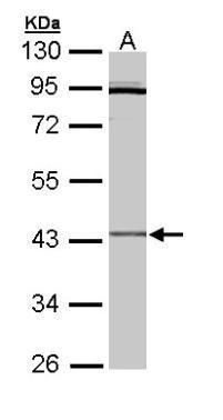CRLF1 Antibody (PA5-22073)
