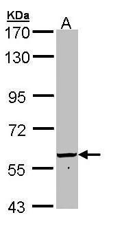 Golgi protein 58k Antibody (PA5-22075) in Western Blot