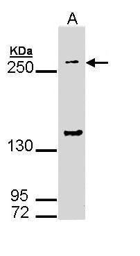 GP340 Antibody (PA5-22090)