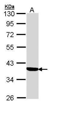 SERPINA6 Antibody (PA5-22097) in Western Blot