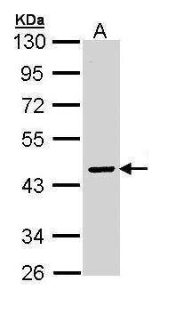 SERPINA10 Antibody (PA5-22100) in Western Blot