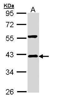 IkB alpha Antibody (PA5-22120) in Western Blot