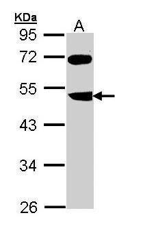 FBXL3 Antibody (PA5-22133) in Western Blot