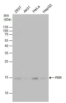 FIS1 Antibody (PA5-22142) in Western Blot
