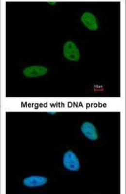 BRE Antibody (PA5-22154)