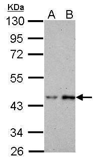 BRE Antibody (PA5-22154) in Western Blot
