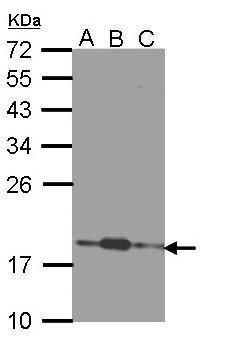 COMMD7 Antibody (PA5-22205) in Western Blot