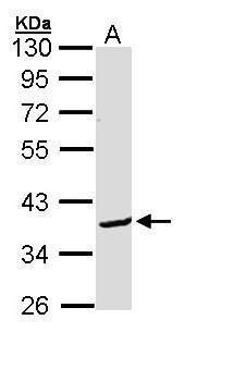 BCL2L12 Antibody (PA5-22209) in Western Blot