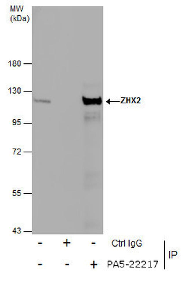ZHX2 Antibody (PA5-22217) in Immunoprecipitation
