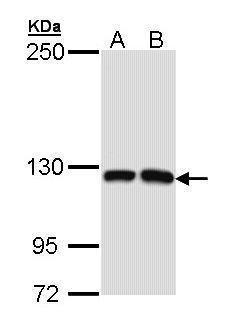MCF2L Antibody (PA5-22223) in Western Blot