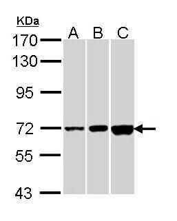 CNGA2 Antibody (PA5-22235) in Western Blot