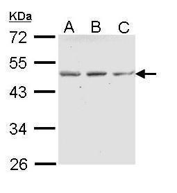 ENTPD5 Antibody (PA5-22247) in Western Blot
