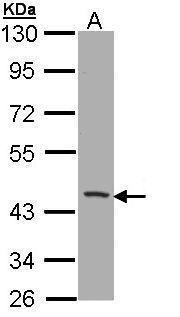 CD1b Antibody (PA5-22249)