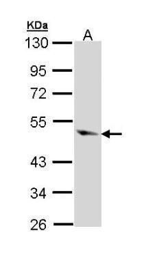 Caspase 9 Antibody (PA5-22252) in Western Blot