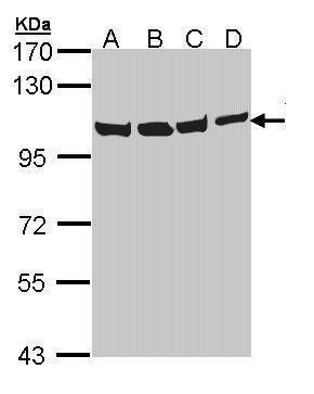VCP Antibody (PA5-22257) in Western Blot