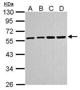 alpha Tubulin Antibody (PA5-22258) in Western Blot