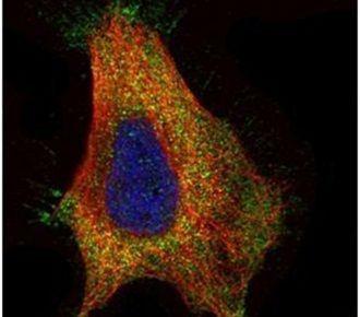 GAD65 Antibody (PA5-22260) in Immunofluorescence