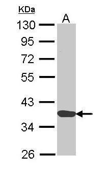 Annexin A1 Antibody (PA5-22266) in Western Blot