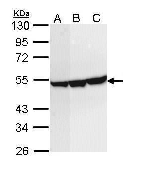 ENO3 Antibody (PA5-22275) in Western Blot
