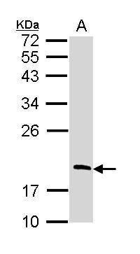RGS13 Antibody (PA5-22291) in Western Blot