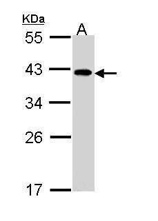 eIF2b beta Antibody (PA5-22295) in Western Blot