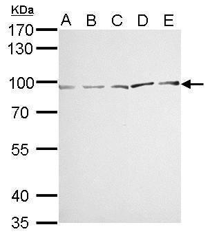 MVP Antibody (PA5-22296) in Western Blot