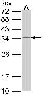 HUS1 Antibody (PA5-22306) in Western Blot