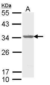 ALY Antibody (PA5-22314) in Western Blot