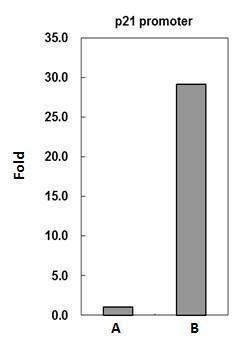 PADI4 Antibody (PA5-22317) in ChIP assay