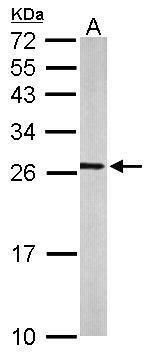 RALA Antibody (PA5-22333) in Western Blot